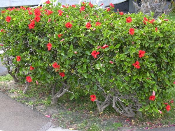 21 flowering shrubs - Hibiscus or Chinese rose