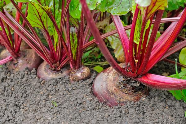 Planting beets: when and how to do it - Beet - basic care