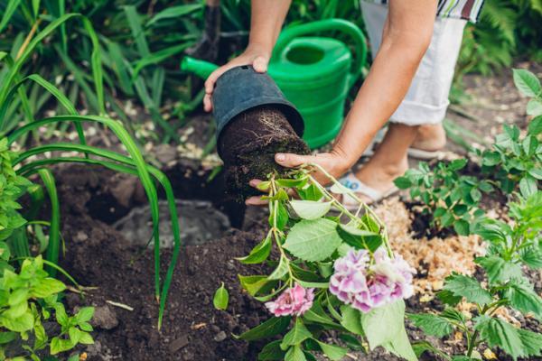 How to Plant Hydrangeas - How to Plant Hydrangeas Step by Step
