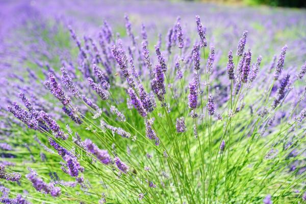 16 garden plants with sun-resistant flowers - Lavender, sun-resistant flowering plant