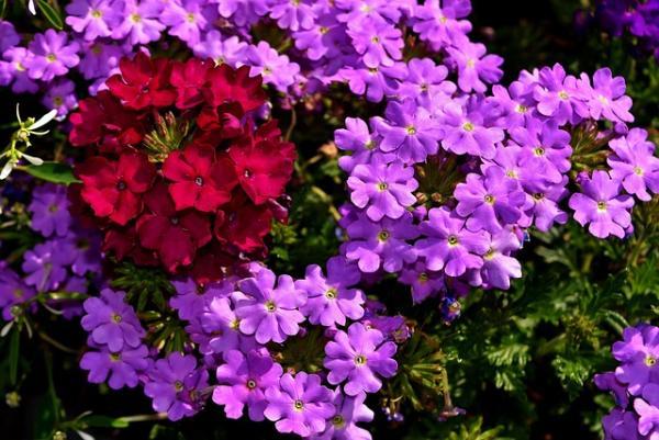 16 garden plants with sun resistant flowers - Verbena