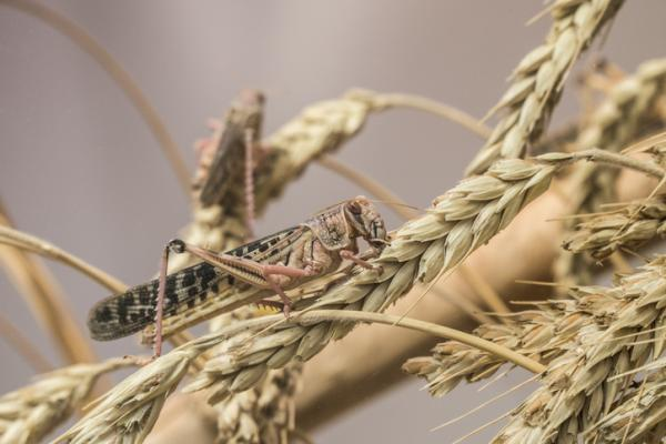 How to eliminate a plague of locusts - Plague of locusts: which plants do they affect?