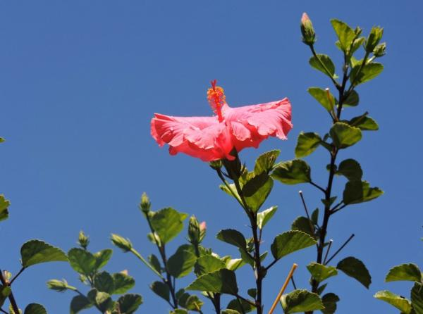 Caring for hibiscus or hibiscus - What is hibiscus for - properties and benefits