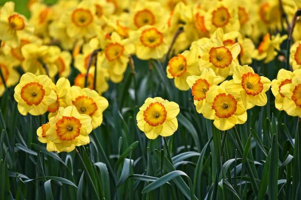 Planting Daffodils: How And When To Do It - Basic Daffodil Care