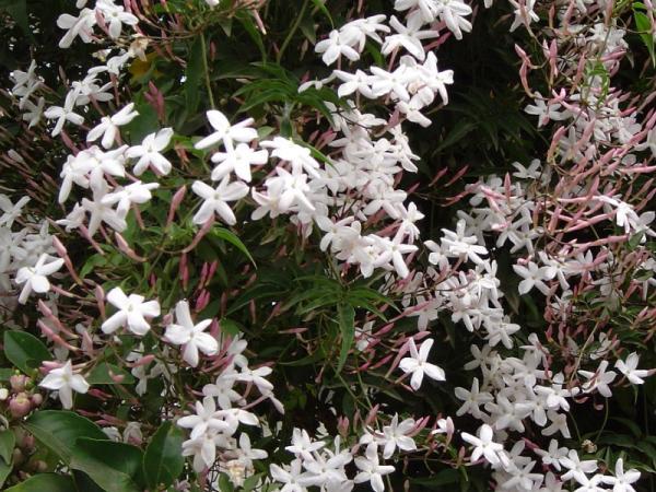9 types of jasmine - Polyanthum jasmine or Chinese jasmine or climbing jasmine