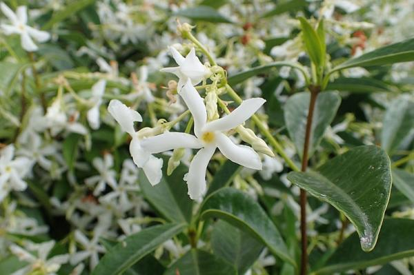 9 types of jasmine - Trachelospermum jasminoides or star jasmine
