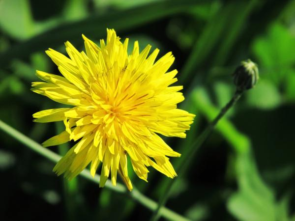 How is the dandelion plant and what is it for? - What is the dandelion plant - characteristics