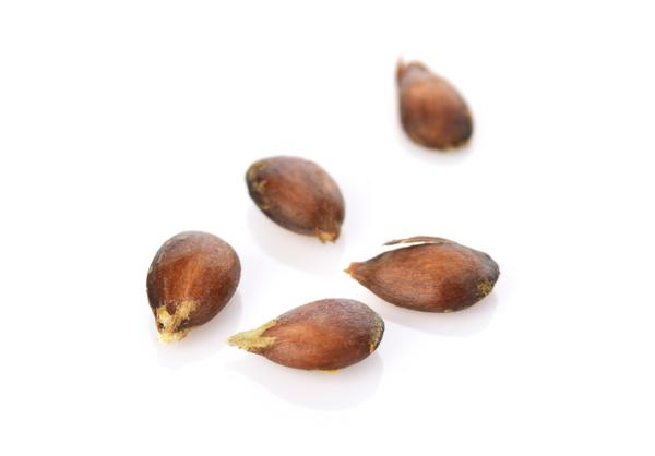 Germinate apple seeds: how to do it and care - How to germinate apple seeds