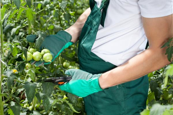 How to Prune Tomatoes - When to Prune Tomatoes