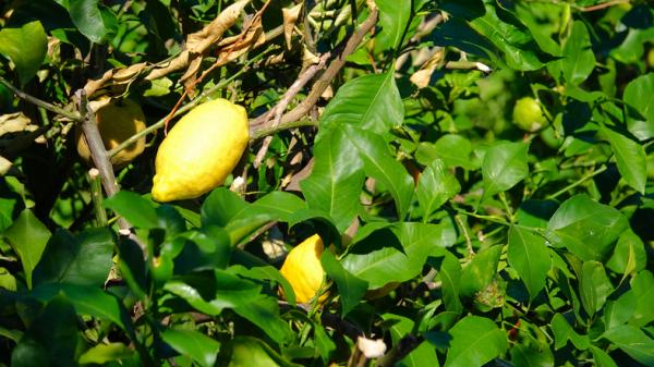 Types of lemon trees - Ponderosa