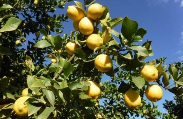 Types of lemon trees - Verna