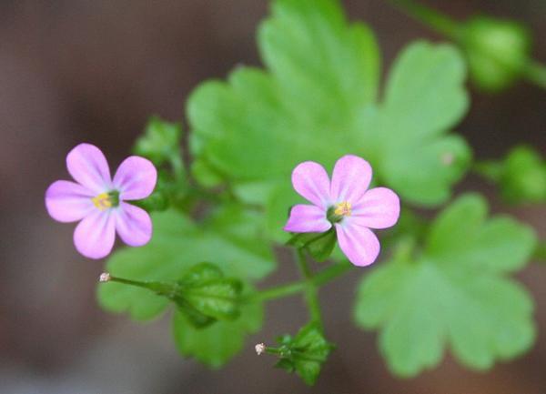 23 types of geraniums - Geranium lucidum L.