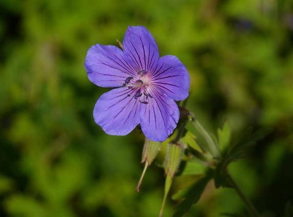 23 types of geraniums - Geranium pratense L.