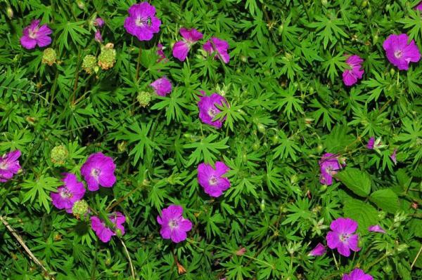 23 types of geraniums - Geranium sanguineum L., one of the types of geranium with showy flowers