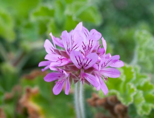 23 types of geraniums - Pelargonium capitatum