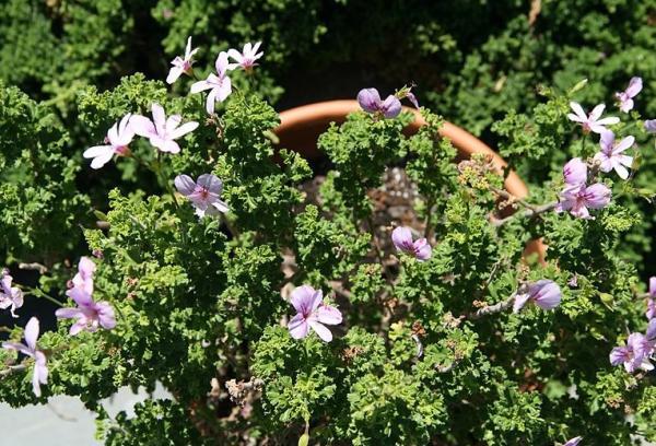 23 types of geraniums - Pelargonium crispum