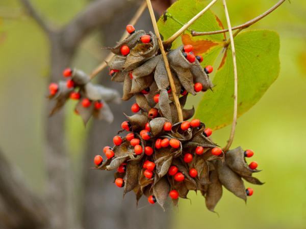 What are the most poisonous plants in the world - American liquorice