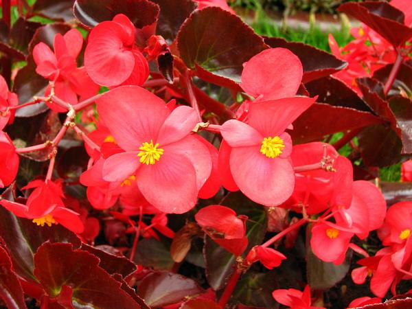 Begonia cultivation and care - Begonias and their types
