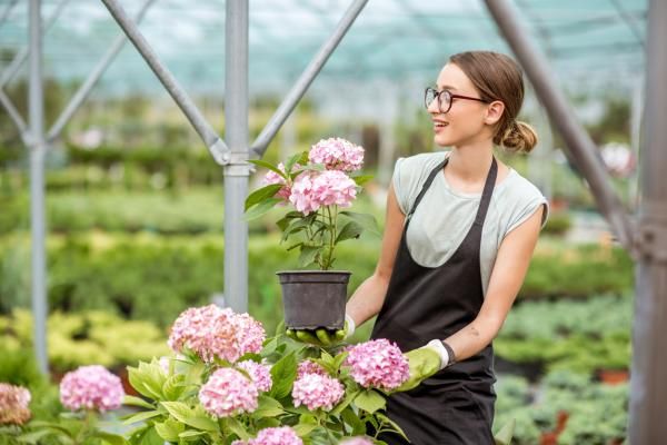 How To Care For Potted Hydrangeas - How To Plant Potted Hydrangeas