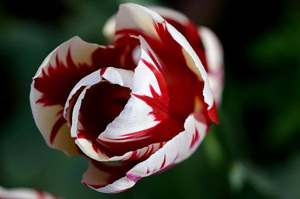 Types of tulips - Rembrandt Tulip