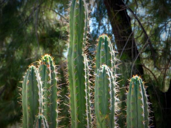 San Pedro cactus care - Main characteristics of the San Pedro cactus or Echinopsis pachanoi