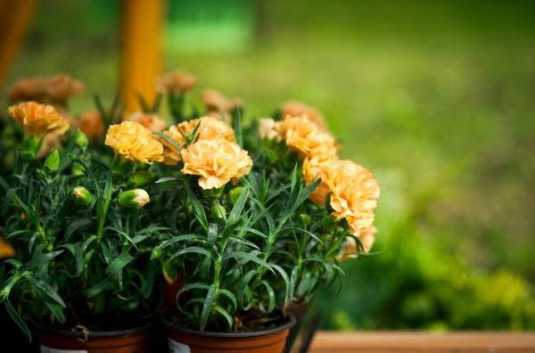 Outdoor potted plants - The carnation