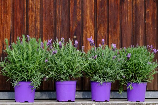 Outdoor potted plants - Lavender