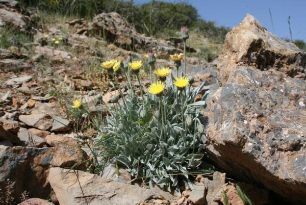 Wild flowers: names and photos - Andryala agardhii or mountain sesame