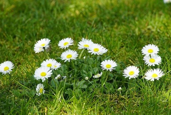 Wildflowers: names and photos - Bellis perennis or daisy