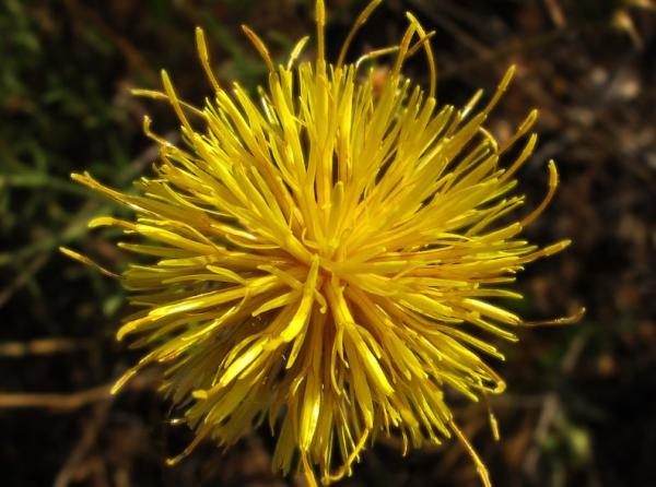 Wildflowers: Names and Photos - Centaurea ornata or Fist Opener