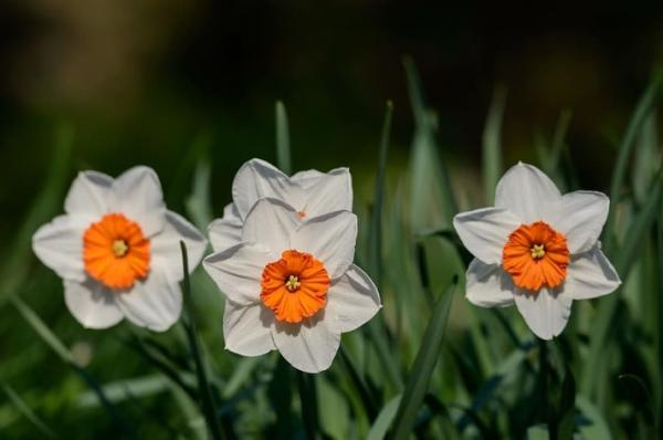 Daffodil Care - How to Care for Daffodils - Basic Care Guide
