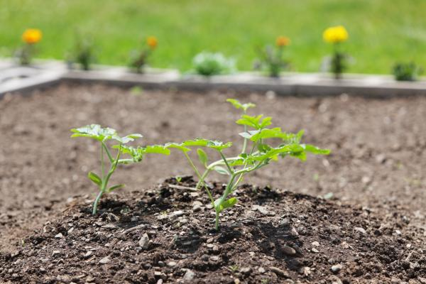 Planting melons: when and how to do it - Growing and caring for melons