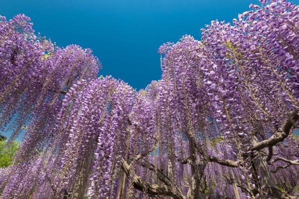Wisteria or wisteria: characteristics and care - Wisteria or wisteria: characteristics