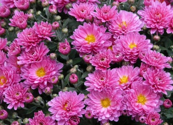 Types of daisies - Queen daisy (Callistephus chinensis)