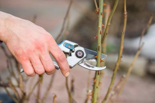How to graft a rose bush - How to graft rose bushes step by step