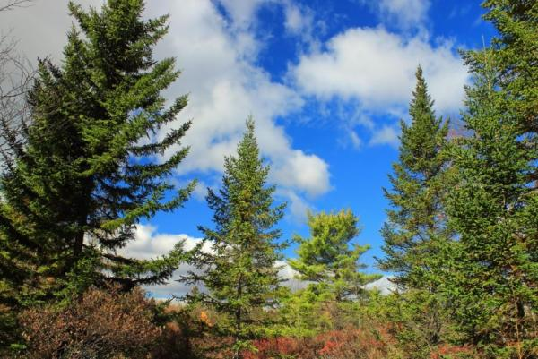 Types of Trees - Types of Evergreens