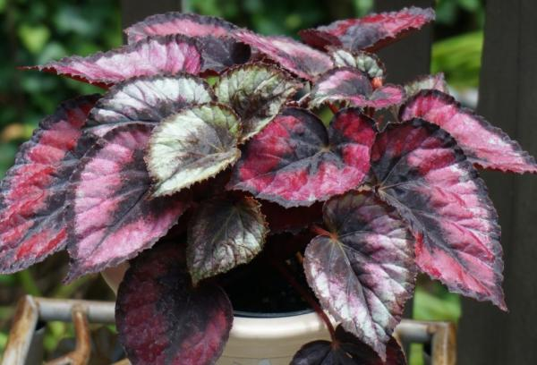Plants with colored leaves - Begonia rex or painted leaf begonia