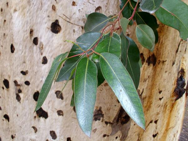 Types of Eucalyptus - Eucalyptus cladocalyx