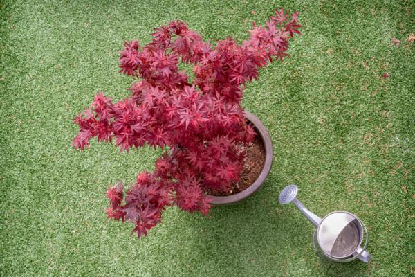 Japanese maple: care and varieties - Watering the Japanese maple