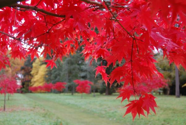 Japanese maple: care and varieties - Soil or substrate for Japanese maple