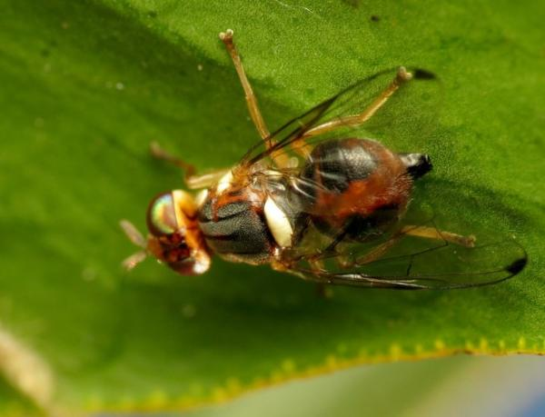 Olive fly: treatment - What is the olive fly and its cycle