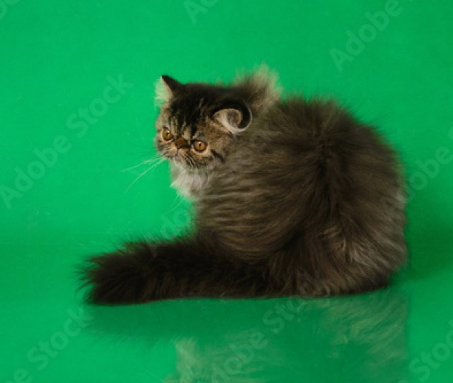 Cute Fluffy Persian Black Grey Tabby Cat Sitting Back On Green Studio Background