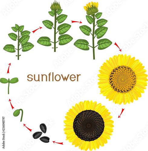 sunflower plant life cycle diagram 12v battery overcharge protection circuit growth stages from seeding to flowering and fruit bearing