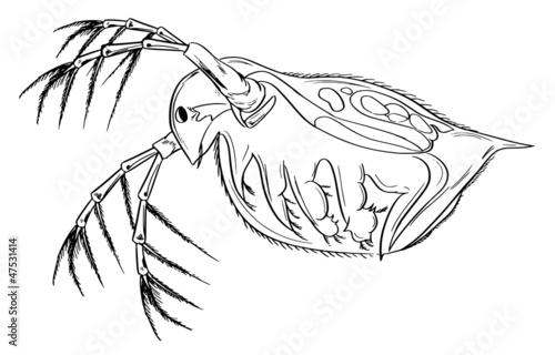 Daphnia Magna Diagram