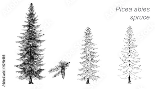 """""""vector drawing of spruce (Picea abies)"""" Stock image and"""