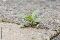 """""""Weed growing in the cracks between patio stones"""