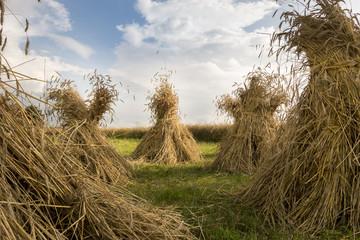 search photos wheat sheaves