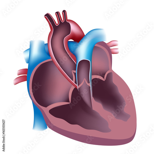 unlabeled heart diagram cross section 1996 7 3 powerstroke glow plug relay wiring stock photo and royalty free images