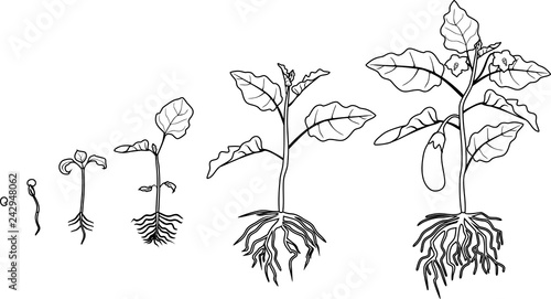 Lettuce Plant Life Cycle Sketch Coloring Page