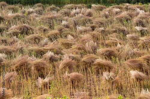 wheat sheaves stock photo